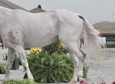 Tricks for whitening your horses tail