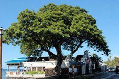 A Popular Lahaina, Maui Restaurant - Hawaii. www.aloha-hawaiian.com #hawaii #maui #hawaiihoneymoondestinations #mauiallinclusive #hawaiivacations