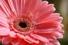 http://us.123rf.com/400wm/400/400/marivlada/marivlada0803/marivlada080300059/2754272-pink-gerber-daisy-with-raindrops-in-nature.jpg