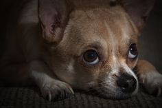 Ay Chihuahua! by Dizzy Soul on 500px
