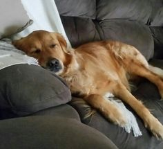 Nice & Comfy on the sofa #goldenretriever #welovegoldens #dog #crazysillypets