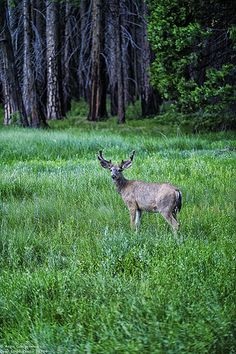 yosemite_deer_130609-2 by Aron Cooperman, via Flickr