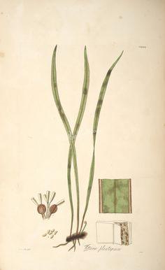vittaria plantaginea (L)      ...