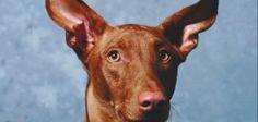 Dog's ears.