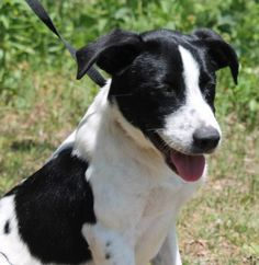 Meet Grover 22369, a Petfinder adoptable Labrador Retriever Dog | Prattville, AL | Grover is a 6-month-old male Lab/Shepherd mix. He is white with large black spots and already...