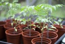 Growing Tomatoes From Seed Tomato Seedlings - Tomato plants prefer particular growing conditions and they will grow best when given them. Here are 10 tips to plant and grow delicious tomatoes. Growing Tomatoes Indoors, Growing Tomatoes From Seed, Growing Tomato Plants, Tomato Seedlings, Growing Tomatoes In Containers, Tomato Seeds, Growing Seeds, Grow Tomatoes, When To Transplant Seedlings