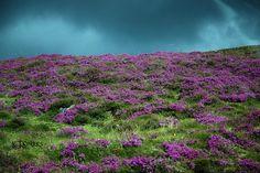 Heather on the Scottish Highlands   Flickr - Photo Sharing!