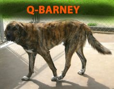 Q-Barney is an adoptable Mastiff Dog in Mena, AR. Q-Barney is one awesome looking dog. His striped brindle and white coat looks just like a big tiger! He is a Great Pyrennes Mastiff with personality p...