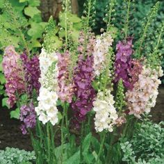 Verbascum phoenicum Collection- The  long flower spikes emerge from amongst large oval leaves which remain very close to the ground. The collection of six consists of two each of Flush of White, Rosetta (pink) and Violetta (purple). Flowers May-August. Ht 60cm