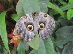 Slimme afschrik look van de uil-vlinder