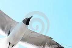 Bonaparte Gull flying solo in clear blue sky.