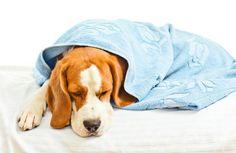 Tüdőgyulladás Kutyák - tünetek és kezelés