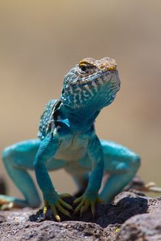 The Blue Anole (Anolis gorgonae), the world's only pure blue lizard by Robert Oelman. The lizard is on the bridge of extinction. Reptiles Et Amphibiens, Mammals, Beautiful Creatures, Animals Beautiful, Funny Animals, Cute Animals, Baby Animals, Blue Lizard, Tier Fotos