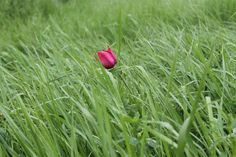 alone in the grass Red tulip