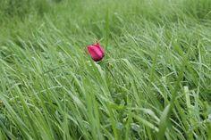 alone in the grass Red tulip