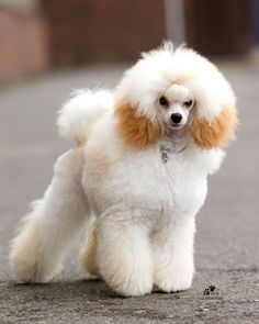 Apricot Toy Poodle | WeLovePoodle.com