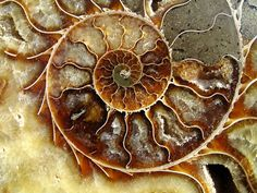 "The ammonite, an extinct marine invertebrate, is a common index fossil today. But aside from scientific research it has popped up in art history a few times. During the medieval period in England, people believed these fossils were petrified coiled snakes, called them ""serpantstones,"" and even carved or painted snakes inside their shell."