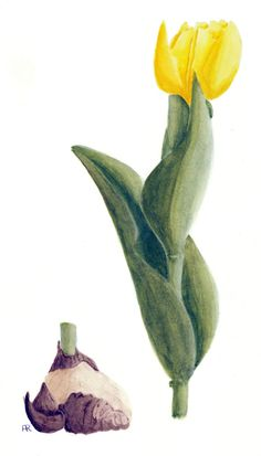 Tulip With Bulb