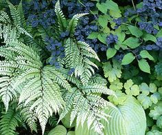 Silver fern, hosta, columbine, and  the blue leaves of euphorbia  gleam in this shady vignette. -- nice in my shady home