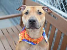 ROY - A1042684 - - Brooklyn TO BE DESTROYED 07/11/15 at only 4 years old, Roy has had a rough life. Coming in with scabs on multiple places on his body and sloughing on his front paws one can only wonder what has happened to him and what he has been through. And lets not even talk about what it looks like inside of his mouth. It's sad to say but the attention he is getting at the shelter is probably more than he has gotten his whole life, even the meals he is recei