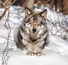 Wolf stretching so good in the snow