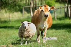 What do you get if you cross an angry sheep and a moody cow? | Livestock.com