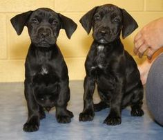 3 Lab mix Puppies! is an adoptable Labrador Retriever Dog in Clarksville, TN. PUPPIES!!! It's love times three with these coal black lab mix babies. They are seven weeks old and loads of fun. For adop...