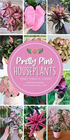 Green is out and PINK is in! Get a pink houseplant to add a pop of color to your home. #pink #pinkplants #prettyinpink #homedecor #plants #quarantineideas  #succulents #flowers #houseplants #garden #gardening #plantlife