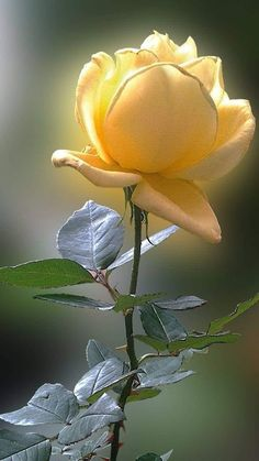Beautiful Rose Flowers, Love Rose, Exotic Flowers, Amazing Flowers, Unique Flowers, Yellow Roses, Red Roses, My Flower, Flower Power