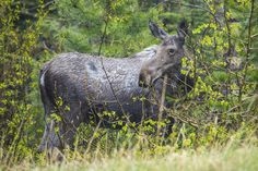 Moose in the Rain, Glacier National Park, Montana - photo by Jacob W. Frank (pinned by haw-creek.com)