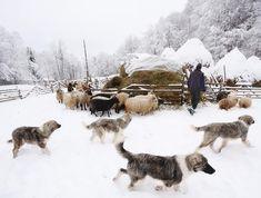 Ballads beneath Ceahlau Mountain (38) #photogralysm #minimalism #ballad #ceahlau #ig_color #visualpoetry #fineart #contemplation #shepherdogs #bicaz #landscape #sheep #simplelife #artofvisuals #main_vision #wonder #f64studio #winterminimalism #we_love_romania #romaniawow #thephotosociety #ig_romania #shepherd #wonderful_places F 64, Wonderful Places, Sheep, Minimalism, Mountain, Fine Art, Landscape, Studio, Outdoor