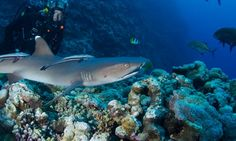 Great Barrier Reef: Monty Halls with a whitetip reef shark Scuba Diving Quotes, Reef Shark, Sea Level Rise, Deep Blue Sea, Great White Shark, Great Barrier Reef, Ocean Life, Marine Life, World Heritage Sites