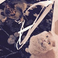 Another sting party for the fur babies 😘 #nevergetboredofstring #meecheebomb #catsofinstagram #scottishfold #playnice