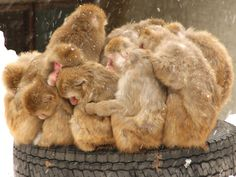 !! Japanese macaques  #animal #monkey