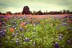 bluebonnets, indian paintbrushes, country. heaven. {junk gypsy co}