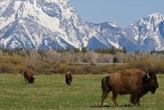 On a recent trip out west, I visited Grand Teton and Yellowstone National Parks, where I saw plenty of bison dotting the plains. Or were they buffalo? Is there a difference between the two?