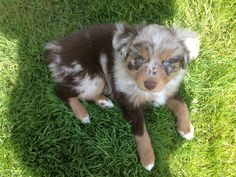 Paisley the Mini Aussie <3