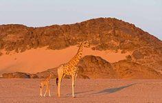 Die Wüstengiraffe wurde erst vor wenigen Jahren als eigene Unterart klassifiziert. Die Tiere machen sich den täglichen Nebel zunutze. Wasserlöcher sind spärlich und auch für Giraffen oft gefährlich, darum finden sie sich selten an den Quellen ein. Wussten Sie, dass diese Giraffenart Tau trinkt