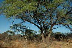 Acacia burkei (Black monkey thorn) - Warthog Lodge