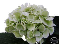 "Cut hydrangea flower ""Schneeball"" (Green)"