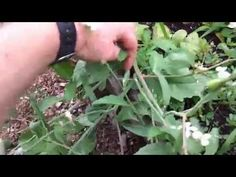 How to get more food from one radish seed - http://prepping.fivedollararmy.com/uncategorized/how-to-get-more-food-from-one-radish-seed/