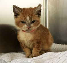 A tiny ginger kitten came to the shelter with a grump face. She was not happy and the rescuers quickly knew why. With a lot of love and care, they turned her little frown upside down. Courtesy: Dr. Sharon Ostermann at Tails of a Shelter Vet The ginger girl was taken in by the San Jos...