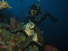 https://flic.kr/p/f9UGf6 | Hawksbill Sea Turtle (Eretmochelys imbricata) | Bunaken, North Sulawesi - Indonesia