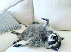 Ever wondered what it'd be like to have a raccoon as a pet? Animals And Pets, Baby Animals, Funny Animals, Cute Animals, Strange Animals, Baby Raccoon, Racoon, Cute Rats, Cutest Thing Ever