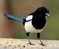 The pursuit of magpies makes me happy!