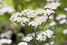 Yarrow's pretty little flowers, usually white but can be pink, cluster together in tight groups to resemble flat umbrellas.  The leaves are like feathers and are aromatic if crushed.  The plant is named after the Greek hero Achilles who is supposed to have used the plant to treat wounds on the battle field.  Yarrow is used in a host of remedies, from healing wounds to colds and fever, stomach ulcers and rheumatism.  Info: Plantlife Little Flowers, Yellow Flowers, Yarrow Plant, Achillea Millefolium, Herb Seeds, Top Soil, Unique Wedding Venues, Medicinal Herbs, Habitats
