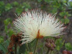Flores do Cerrado. Macaúbas, BA.
