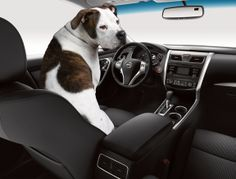 Dog-safe driving tips: Mossy Nissan loves dogs - Read our blog to ...