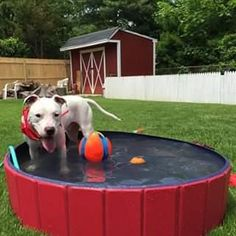 The pool is deep enough for your dog to get completely soaked and cool off by either sitting, standing or swimming! Fun and Cool for both toddlers / little kid Portable Pools, Schnoodle Dog, Baby Pool, Dog Nails, Kiddie Pool, Kids Running, Your Pet, Dog Cat, Shopping