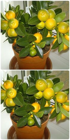Bonsai Orange Tree, Bonsai Fruit Tree, Bonsai Tree Types, Bonsai Plants, Indoor Fruit Trees, Organic Fruit Trees, Citrus Trees, Fruit Plants, Vertical Succulent Gardens